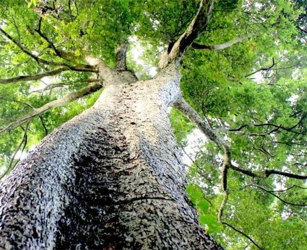 金丝楠木和黄花梨哪个贵 金丝楠木价格多少钱一吨方