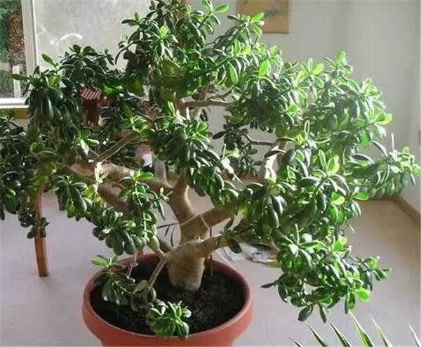家里的玉树可以送人吗 客厅最旺宅的植物有哪些