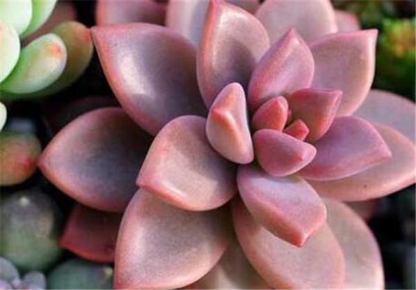 石头花养殖注意事项 宝石花施什么肥料最好