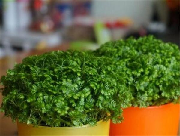幸福草的养殖方法和注意事项 幸福草花怎么修剪