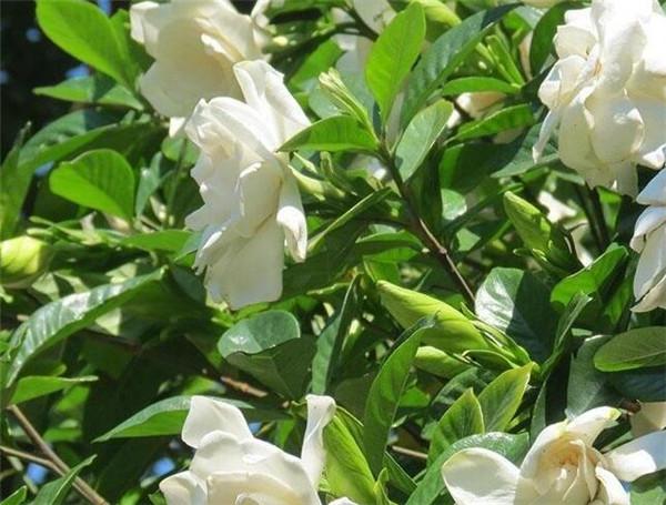栀子花的花语是什么 栀子花叶子发黄是什么原因