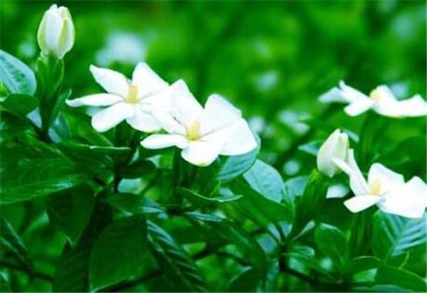 栀子花的养殖方法 栀子花根部腐烂怎么处理