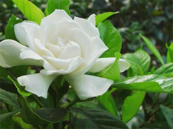 栀子花怎样养才能花开不断 十二种招财花有哪些