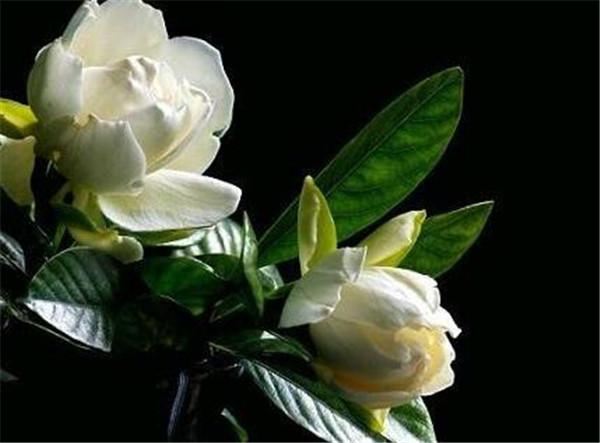 栀子花专用肥料有哪些 栀子花怎么浇水施肥
