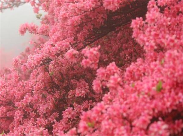 映山红花期开多久 映山红盆景怎么养