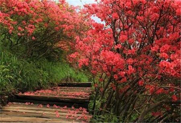 映山红怎么栽成活率高 映山红的养殖方法和注意事项