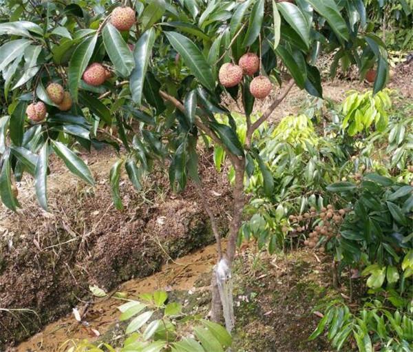 荔枝种植时间和方法 荔枝种植条件气温