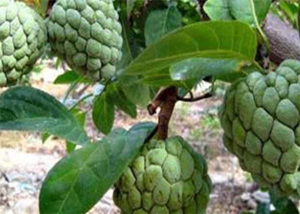 番荔枝科植物有哪些 50种热带水果介绍