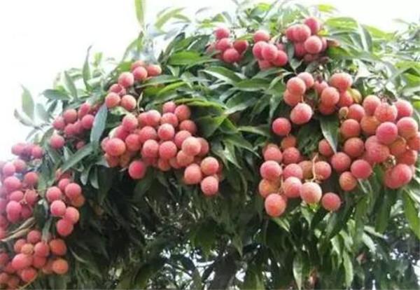 漳浦荔枝什么时候上市 漳浦水果特产有哪些