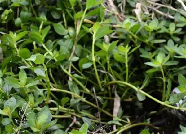 空心莲子草用什么除草剂 空心莲子草的功效与作用
