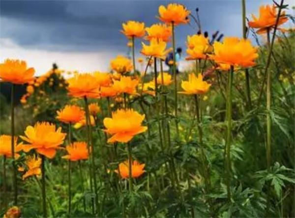 金莲花的功效与作用 金莲花泡水用几朵