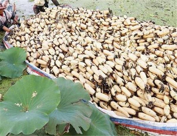 浅水藕一亩投资多少钱 浅水藕品种有哪些