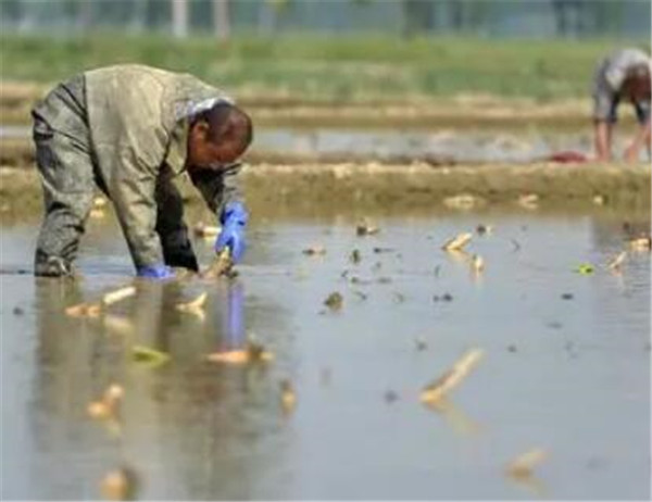 藕种苗价格多少钱一斤 藕种植时间和方法