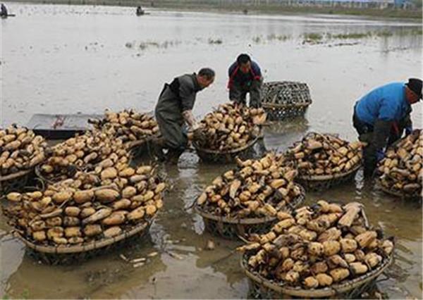 莲藕种子种植技术 莲藕种植如何施肥才能高产