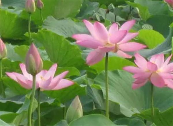 莲藕盆景有什么好处 莲藕盆景一年开几次花