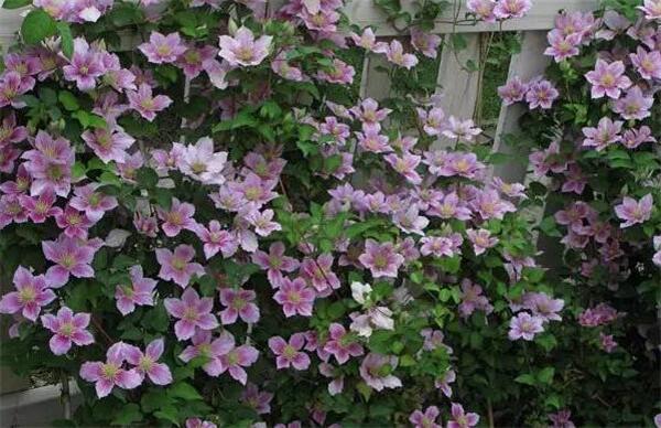 铁线莲什么时候种植 铁线莲最漂亮的品种有哪些