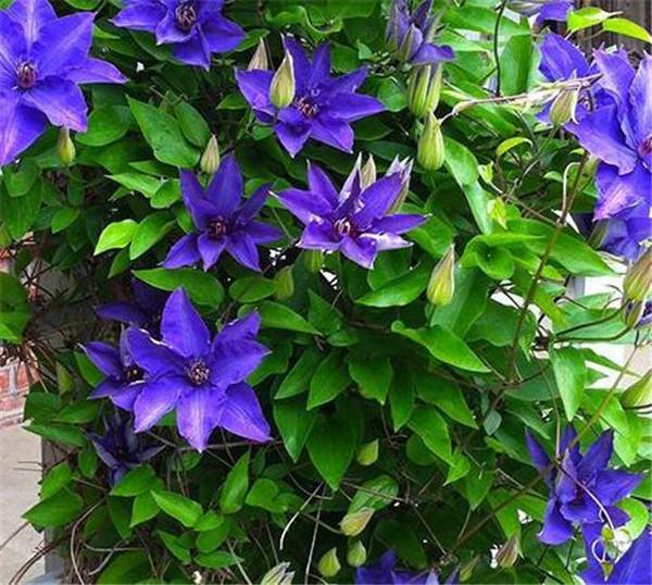 铁线莲哪个品种好养花期又长 必买铁线莲十大品种