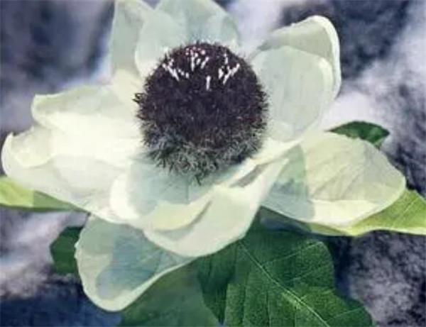 雪莲花的功效与作用 天山雪莲花怎么吃