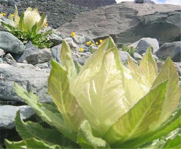 雪莲花的价格多少钱一斤 雪莲花的吃法有哪些