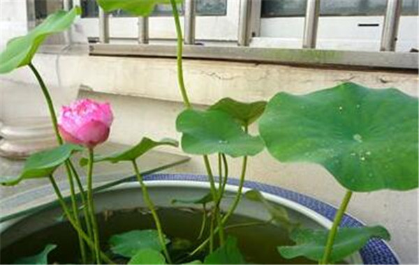 碗莲种子怎么种 碗莲第几个叶子是立叶
