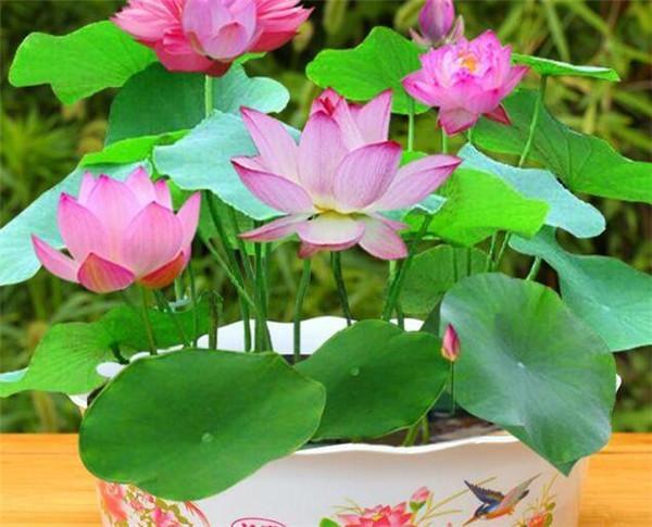 碗莲长叶子后多久开花 碗莲可以一直水养吗