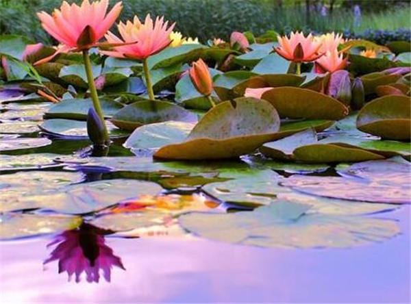睡莲为什么不开花 家里千万不能养的6种花