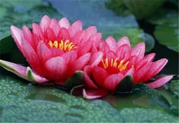 红睡莲的寓意象征意义 家里为什么不能养睡莲