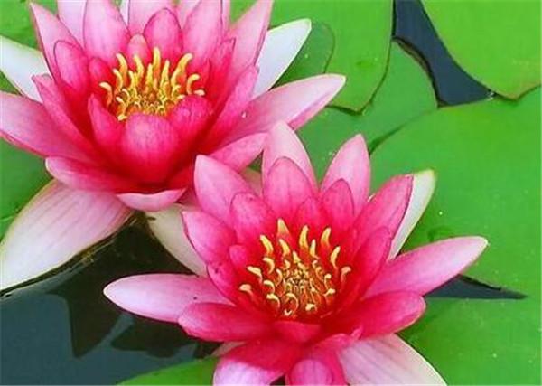 红睡莲的功效与作用 睡莲的营养价值有哪些