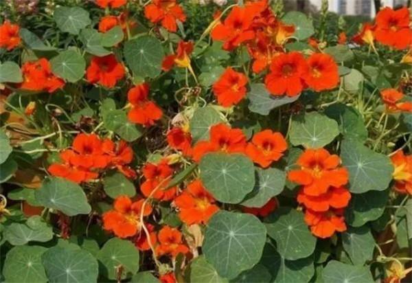 旱金莲能活几年 旱金莲的叶子发黄枯萎怎么回事