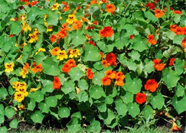 旱金莲的功效与作用 旱金莲和旱莲草的区别