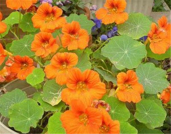 旱金莲种植方法和时间 旱莲花在室内怎么养