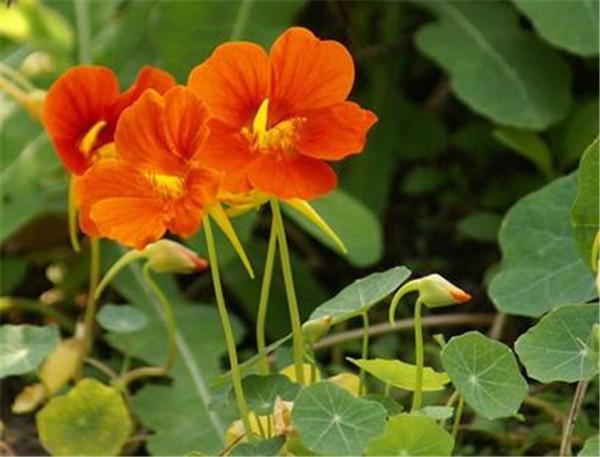 旱金莲种子直接种到土里行吗 旱金莲如何爆盆