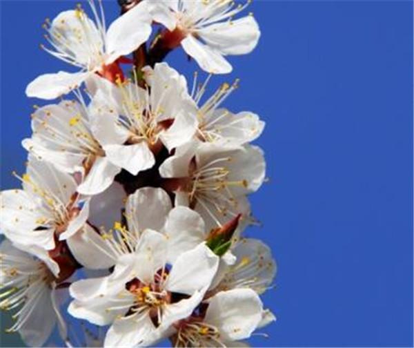 杏花是什么季节开的 怎么形容杏花的美