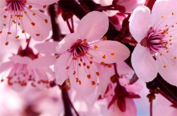 杏花的寓意和象征 杏花象征什么人的精神品质