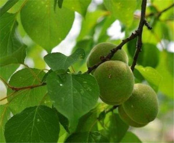 杏树嫁接时间与方法 杏树嫁接什么树最好