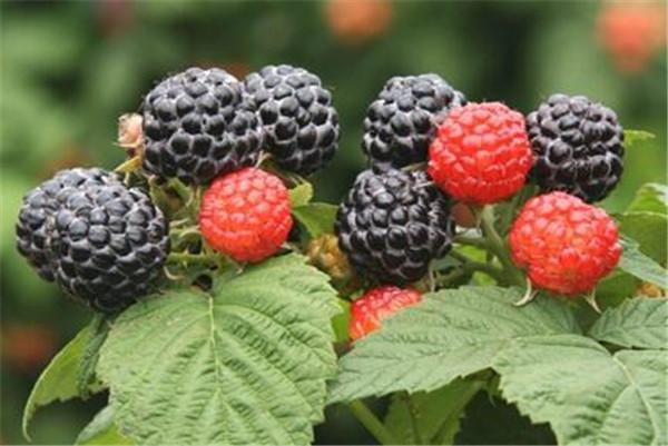 覆盆子和树莓的区别 女性吃覆盆子有什么好处