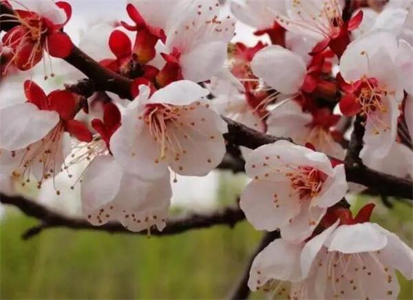 杏花是什么颜色 杏花有什么特点