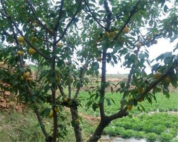 杏树种植时间和方法 杏树什么时候育苗最好