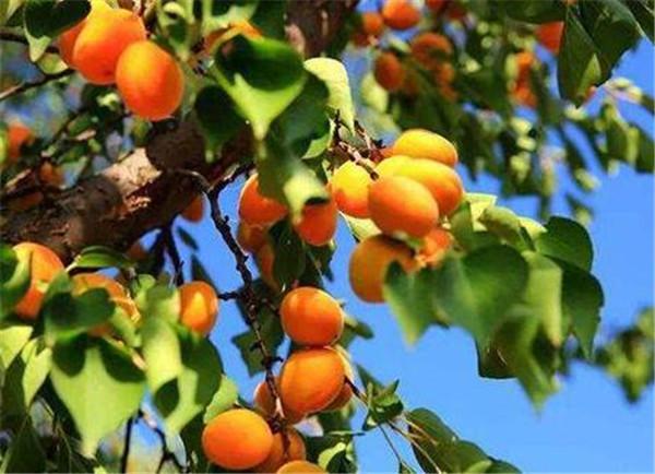 杏树枝能扦插活吗 杏树都5年了为什么不结果