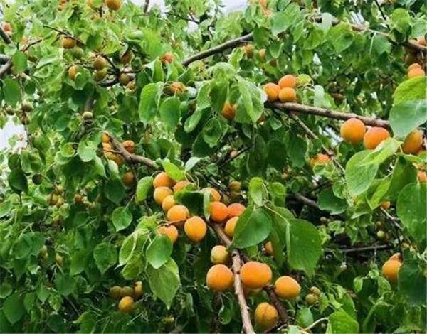 杏树苗是怎么种出来的 院子里最旺宅的果树