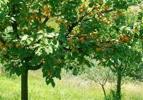 杏树皮接什么时间最好 杏树皮烂了怎么补救