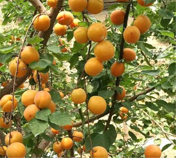 杏树皮的功效与作用 早熟杏树苗品种大全