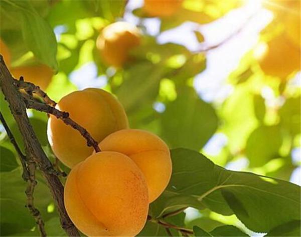 杏树根腐病的防治方法 杏树黄叶病用什么药能治好
