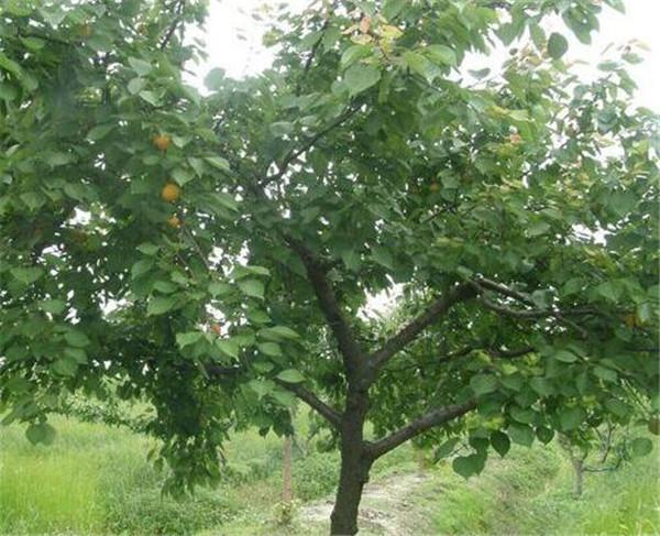 杏树根的功效与作用 杏树根部长的灵芝能吃吗