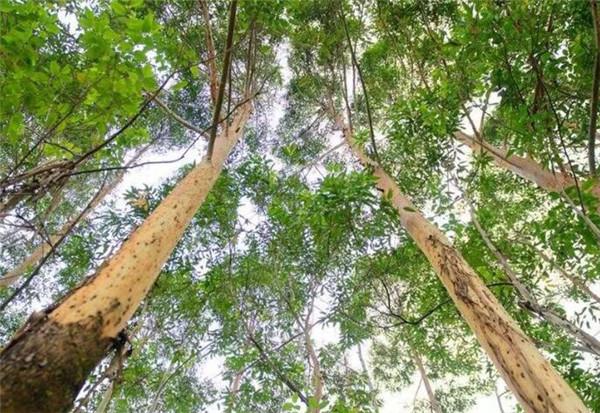 杏仁桉树为什么中国禁止 杏仁桉树一年能长多高