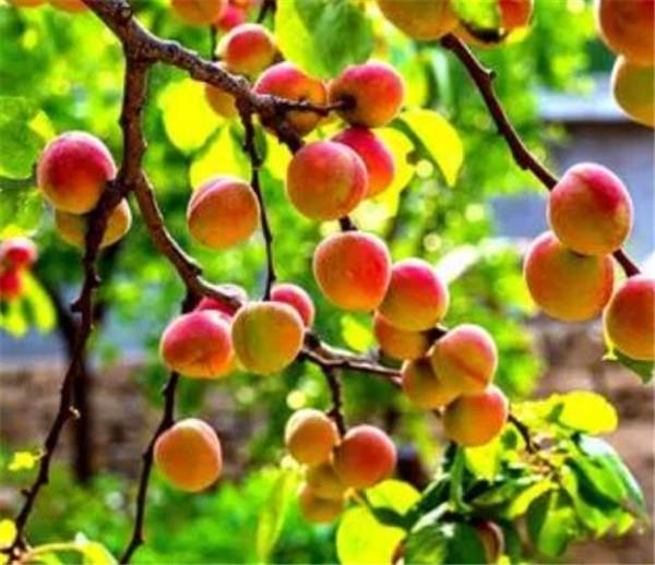 山杏的功效和作用是什么 野山杏长什么样