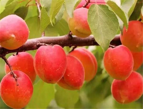 红杏在什么季节开花 红杏的营养价值与功效作用