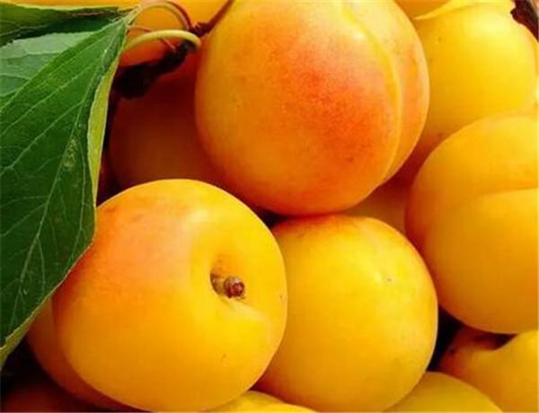 杏子是热性还是凉性的 杏子的功效与作用禁忌