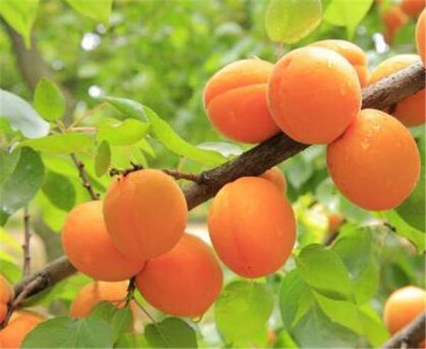 杏子吃多了对身体有什么影响 杏子吃多了会上火吗