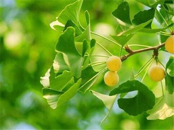 银杏是什么植物 银杏产地分布在哪里